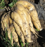 White_sweet_potatoes_400